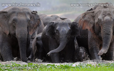 Stern+action+against+those+harming+wild+elephants+++