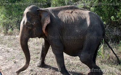 6+children+injured+after+elephant+goes+on+rampage+in+Kandana+++
