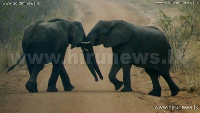 Gotabaya%27s+2+elephant+calves+to+Pinnawala