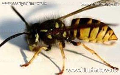 Wasp+attack+in+Bogawantalawa