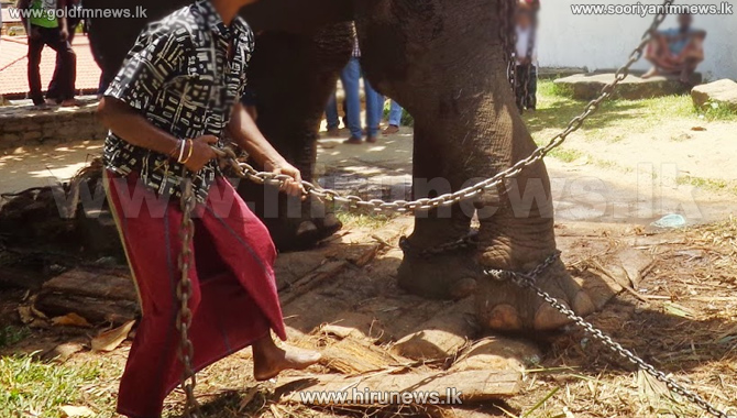 Mahout+arrested+for+agitating+a+tusker+during+Ratnapura+procession.