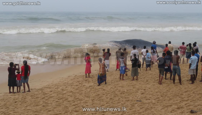 Carcass+of+a+large+whale+washed+ashore+in+Ambalangoda+