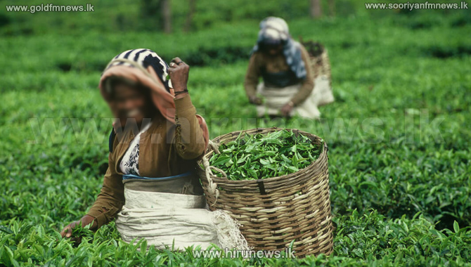 Tea+harvest+in+the+low-country+is+stabilizing+