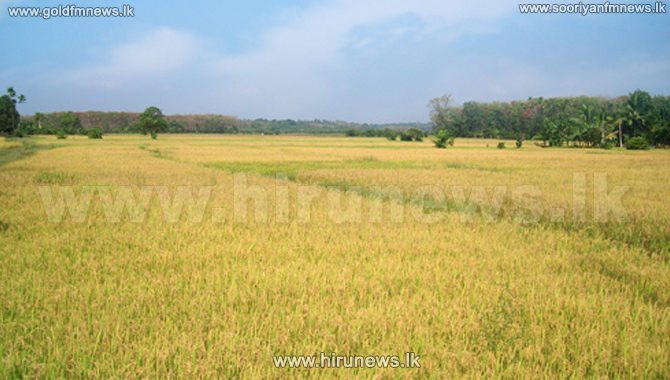 50%2C000+acres+of+paddy+in+Trincomalee+left+for+grazing