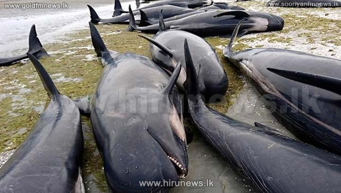 New+Zealand+whales%3A+Authorities+to+move+300+carcasses