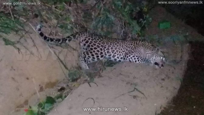 The+operation+at+midnight+which+saved+the+life+of+a+leopard