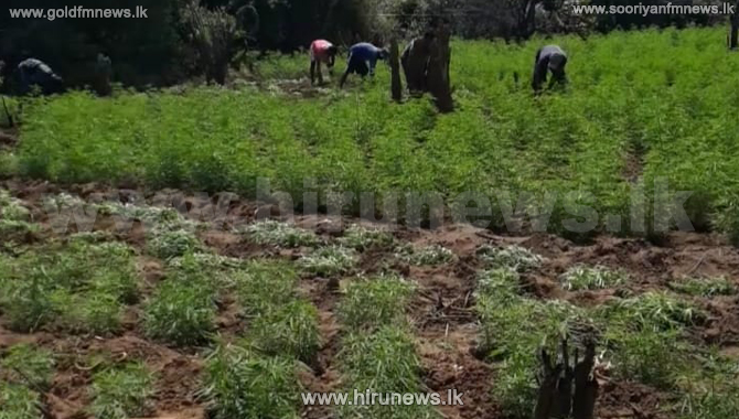 10%2C185+cannabis+plants+in+Thanamalwila+set+on+fire+and+destroyed+by+police