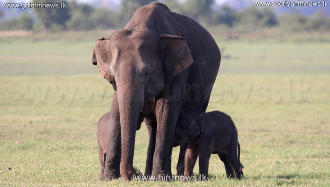 Twin baby jumbos at Minneriya National Park (picture)