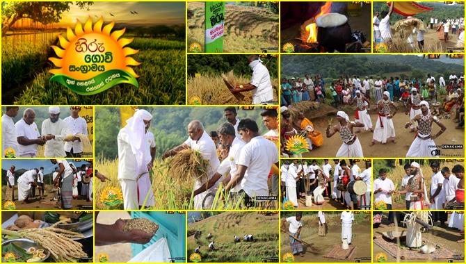 The harvesting of the second phase of the 'Hiru Govi Sangramaya- Thunhelei Ranketh Udanaya ' commenced this morning (Video)