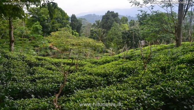 Higher prices fetched for low country tea