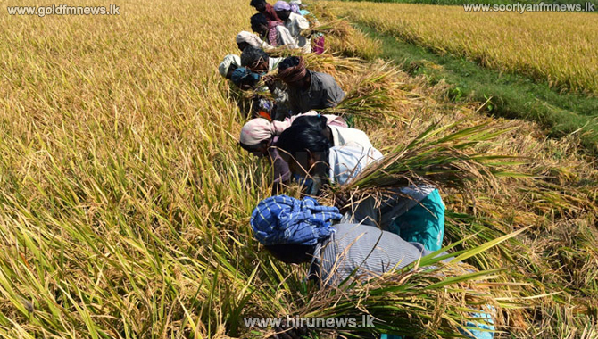 Treasury releases financial grants to purchase paddy harvest of Yala season