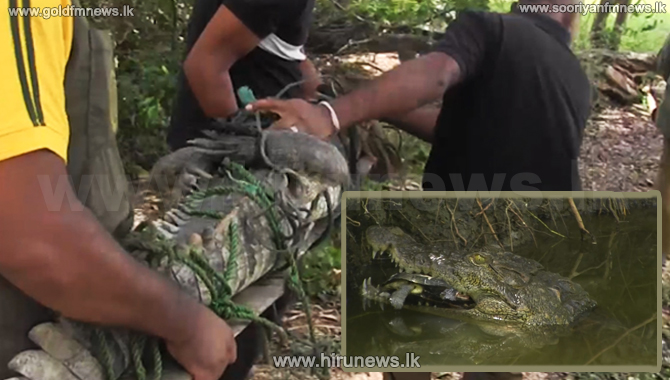 Three-day operation to catch marsh-crocodile (video)