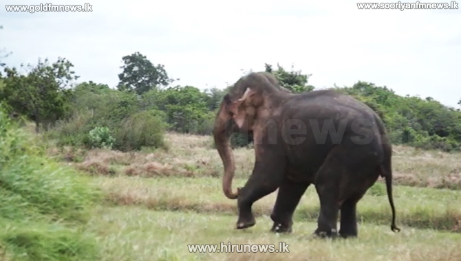 Wild jumbo with gunshot injuries frequents paddy fields (video)