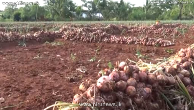 A fungal disease of onion cultivation