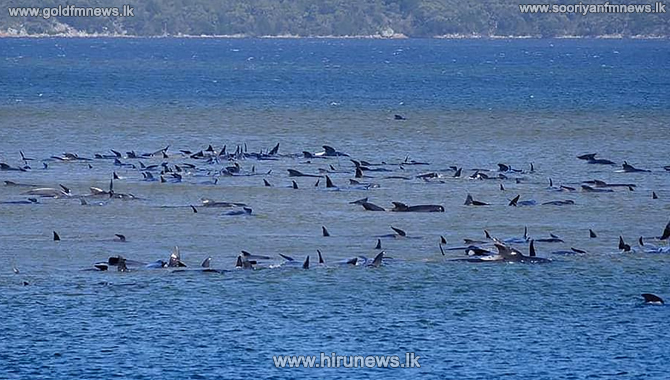 270 Whales washed to the shallow waters of Tasmania