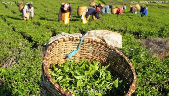 Decline in Sri Lankan tea exports
