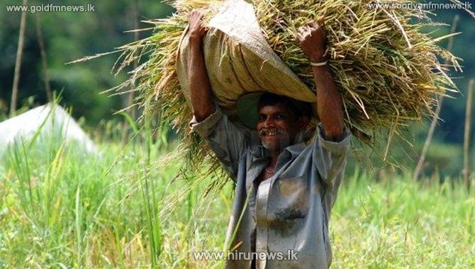 மன்னார் மாவட்டத்தில் பெரும்போக நெற்செய்கை பாதிப்பு