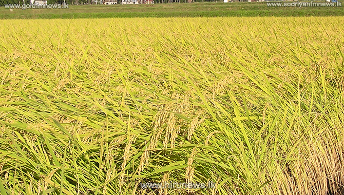Pest menace in paddy fields of Mahaweli region