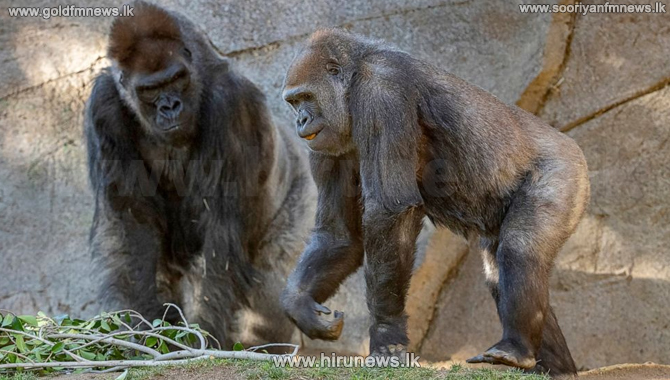 Apes in US receive COVID vaccine