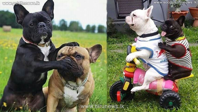 French bulldogs close in on Labradors as most popular US dog