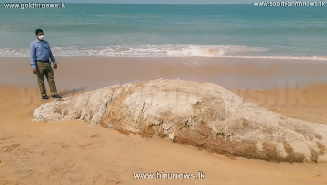 Dead whale washed ashore in Mt.Lavinia