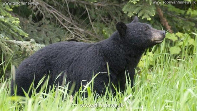 39-year-old+woman+killed+in+bear+attack+-+female+black+bear+with+two+yearlings+euthanised