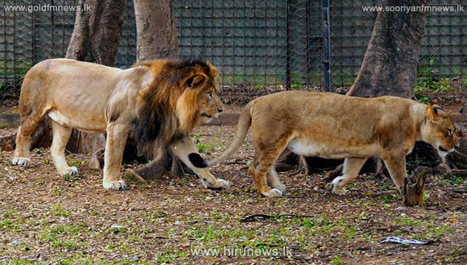 Eight Asiatic lions at an Indian zoo have contracted coronavirus