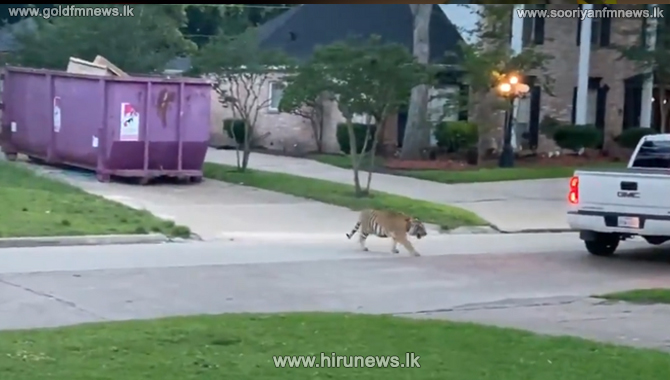 Houston Tiger that frightened residents located after a week (Video)