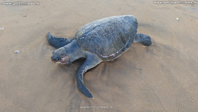 Another two dead turtles wash ashore (Photos/Video)