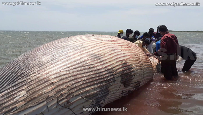 Sri Lanka blue whales: 30 foot whale washed ashore in Jaffna (Photos)