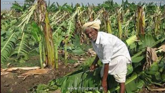 Undu, mung & banana farmers in trouble due to crop disease