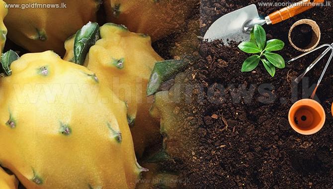 Successful+onions+%26+dragon+fruits+cultivation+using+organic+fertilizer+