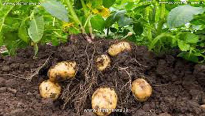Potatoes harvesting commences