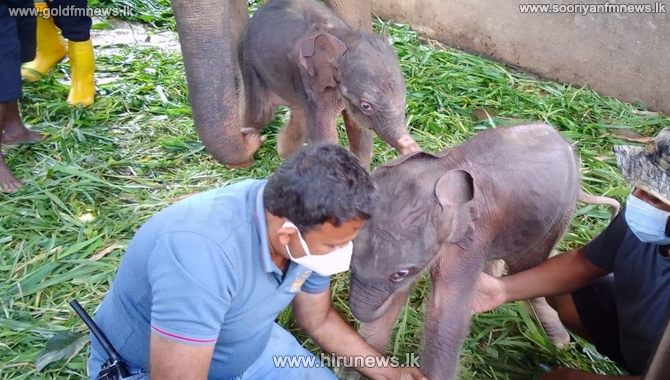 Twin+elephant+birth+at+Pinnawala+